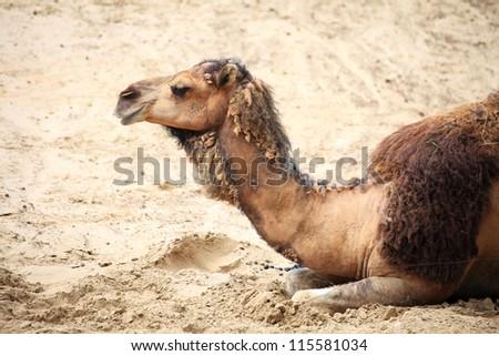 camel in the desert animal outdoor