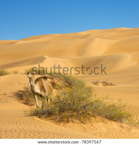 Camel in the Desert - Awbari Sand Sea, Sahara Desert, Libya