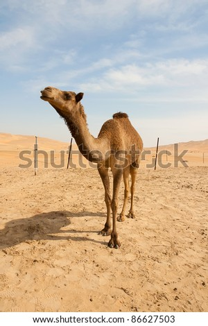 Camel in the desert in the morning sun - stock photo