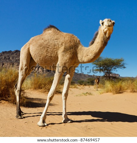 Camel in the Sahara Desert, Libya