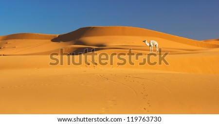 Camel in the Sahara desert, Morocco