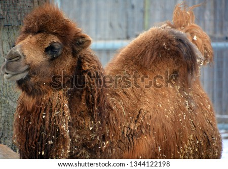 Camel is an ungulate within the genus Camelus, bearing distinctive fatty deposits known as humps on its back. There are 2 species of camels: the dromedary l has a 1 hump, and the bactrian has 2 humps #1344122198