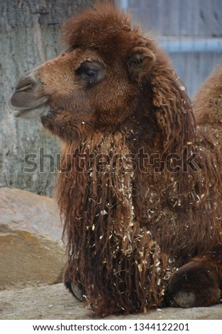 Camel is an ungulate within the genus Camelus, bearing distinctive fatty deposits known as humps on its back. There are 2 species of camels: the dromedary l has a 1 hump, and the bactrian has 2 humps #1344122201
