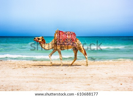 camel is walking on the tunisian beach  #610688177