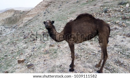 Stock Photo camel looking at the drone