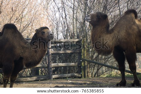 Camel making a funny face inside its enclosure
