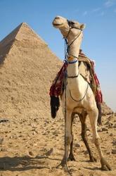 Camel near the pyramids of Ghiza, Cairo, Egypt.