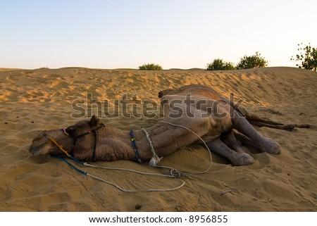 Camel on safari - Thar desert, Rajasthan, India - stock photo