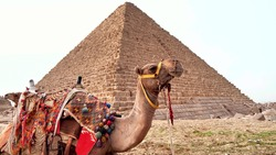 Camel on the background of the Egyptian pyramid