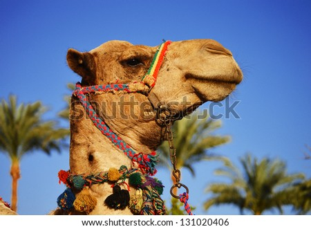 Camel over the blue sky and palm trees