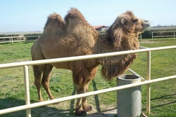 Camel owners leave their animals roam more less free . Pretty harmless and a nice tourist attraction . Camels graze inside the iron fence . Camel portrait closeup of a camel in Azerbaijan .