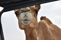 Camel peaking into a car