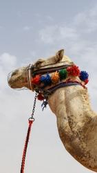 Camel Portrait close-up in Saudi Arabia. Portrait Photography.