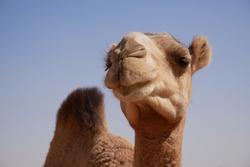 Camel portrait closeup of a camel in Sudan