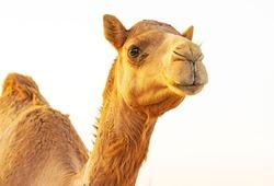 Camel Portrait From Al Dhafra Camel Festival Liwa Abu dhabi United Arab Emirates