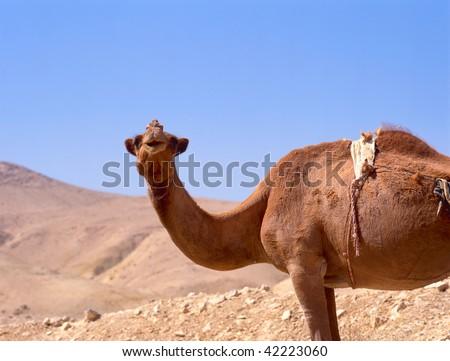 camel portrait in the sahara desert, close-up, light clear blue sunny sky,