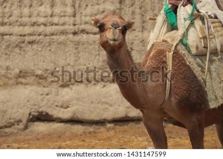 Camel rest in desert at Mesr , Esfahan , Iran
