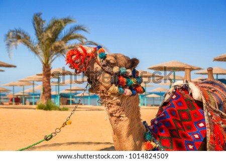 Camel resting in shadow on the beach of Hurghada, Egypt #1014824509