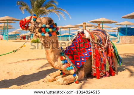 Camel resting in shadow on the beach of Hurghada, Egypt #1014824515