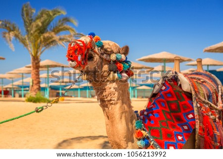 Camel resting in shadow on the beach of Hurghada, Egypt #1056213992