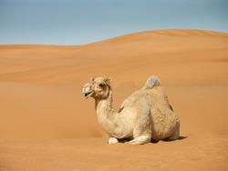 camel resting on sand dunes