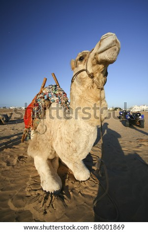 Camel resting on the sandy beach of Atlantic.