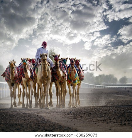 camel rider with camels in Dubai desert sand dunes, United Arab Emirates,  concept for wildlife, holiday, environment advertorial ads, magazine, brochure cover,