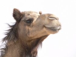 Camel's smiling face epitomizing holidays, sand and fun