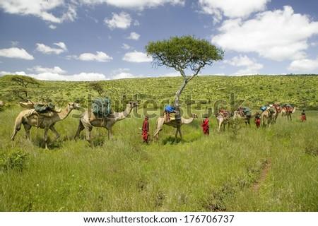 Camel safari with Masai warriors leading camels through green grasslands of Lewa Wildlife Conservancy, North Kenya, Africa
