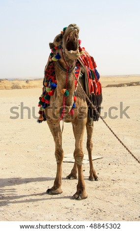 stock-photo-camel-shows-some-teeth-48845302.jpg