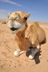 Camel sitting in the desert, Abu Dhabi