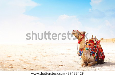 Camel sitting on a desert land with blue sky on the background