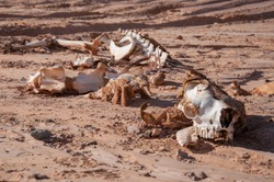Camel skeleton on the sand in the desert. Ecology problems. Global warming. A Camel Skeleton carcass in the desert sand.