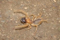 Camel spider eating its prey.  Close up camel spider, windscorpion, Solifugae or sun spider, wind scorpion. insect, insects, bugs, bug, closeup wild nature, wildlife, animals, animal, forest, desert