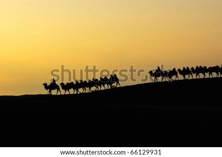 Camel team in the desert at dawn