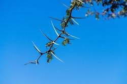 camel thorn tree Bough