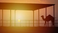camel under the shade in a desert camel farm.selective focus.