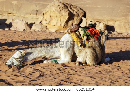 Camel Wadi Rum Jordan. While the main money earner for most of the Bedouin in Wadi Rum is undoubtedly tourism, several people concentrate on breeding racing camels