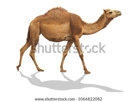 camel waling isolated on white background with clipping path include shadow
