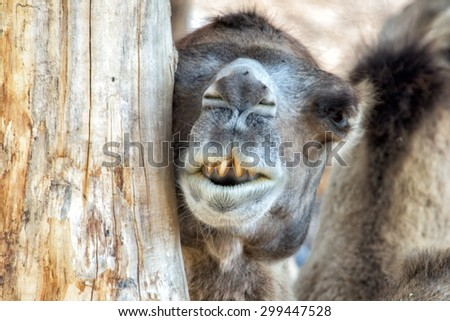 camel while looking at you