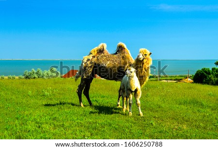 Camel with camel colt view. Camels view