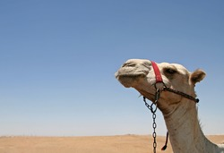 Camel with desert and sky as background