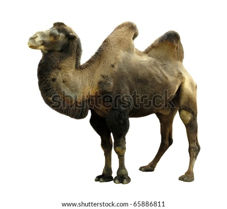 Two Hump Camel http://www.shutterstock.com/pic-65886811/stock-photo-camel-with-two-humps-bactrian-camel.html