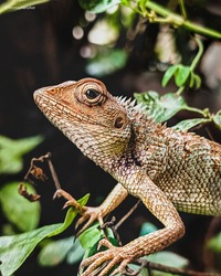 Cameleon is fully focused with blurred background