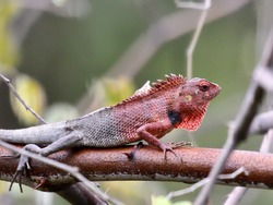 Cameleon on the tree giving mating signals to its partner.
