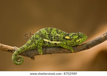 Cameleon sitting on dead branch; South Africa