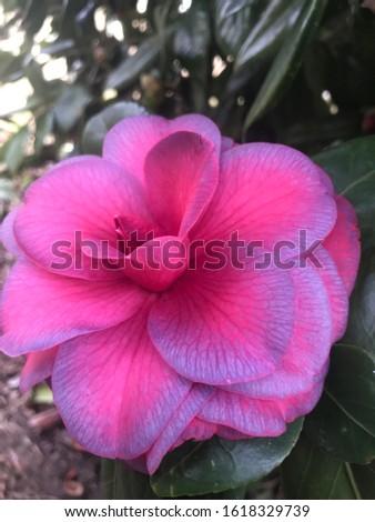 Camellia bloom closeup botany plants