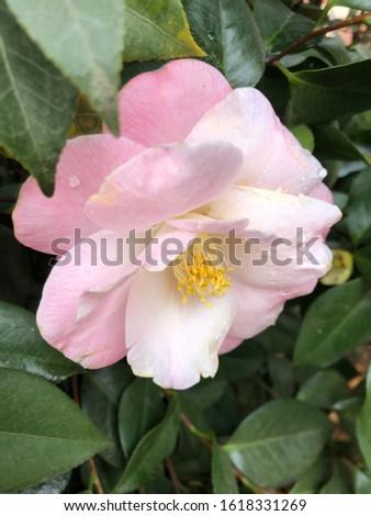 Camellia bloom closeup nature botany plants