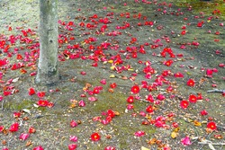 Camellia fallen flowers on the ground