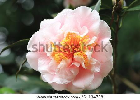 Camellia flower and raindrop,closeup of pink camellia flower in full bloom with raindrop in the garden